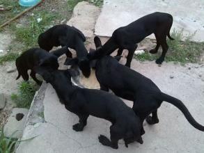 今日大型黑狼犬养殖场价格