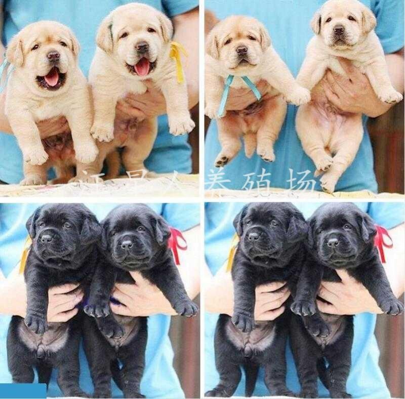潮州地区最大养殖场 出售世界名犬 可签协议 可送货上门