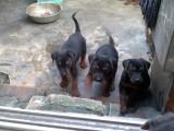 鞍山哪里卖莱州红犬,莱州红幼犬价格