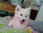 高品质 银狐幼犬 日本仲犬 包健康纯种
