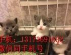 猫舍直销纯种家养幼猫支持支付宝散养