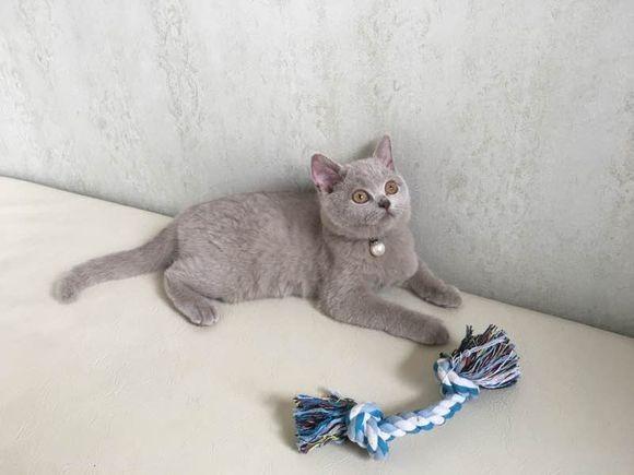 福州哪里有蓝猫卖 蠢萌型 健康无廯送货上门 支持空运