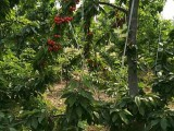 山西樱桃苗占地樱桃树樱桃树价格