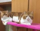 加菲猫低价出售公母都有1000-2000
