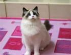 成都什么地方有猫舍/成都哪里有卖布偶猫