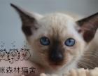 纯种健康的泰国暹罗猫,霸气十足蓝宝石眼睛