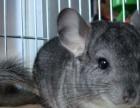 69松鼠淘宝店铺出售魔王金花雪地幼鼠龙猫安格鲁貂等宠物支持淘