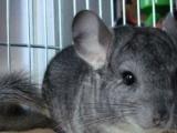 85松鼠淘宝店铺出售魔王金花雪地幼鼠龙猫安格鲁貂等宠物支持淘