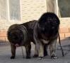 平顶山什么地方有狗场卖高加索/哪里有卖高加索犬