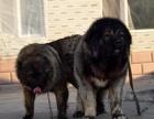 泰安什么地方有狗场卖高加索/哪里有卖高加索犬