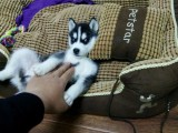专业狗场繁殖 哈士奇雪橇犬 双蓝眼三把火签协议