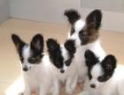 青岛哪有蝴蝶犬卖 青岛蝴蝶犬价格 青岛蝴蝶犬多少钱
