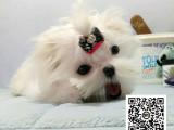 马尔济斯犬纯正健康出售-幼犬出售,当地可以上门挑选