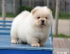 出售肉嘴松狮犬 松狮狗 迷你松狮犬松狮犬纯种幼犬中型犬宠物狗