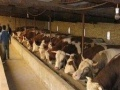 较新牛犊价格,山西良种养牛场