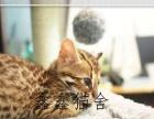 TICA双血统孟加拉豹猫DDMM金色空心玫瑰纹