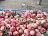 江西大棚油桃种植基地 山东大棚油桃上市了\今日大棚油桃价格