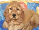 可卡幼犬丶纯种大耳朵可卡登场丶包健康纯种