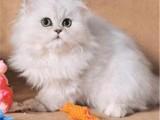 北京门头沟纯种金吉拉幼猫多少钱