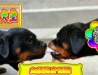北京专业 罗威那、狗场——种公专业配种—可送狗狗上门