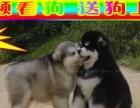 阿拉斯加犬待售中——全天24小时营业—京津冀送狗上门
