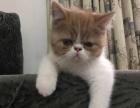 西安加菲猫幼猫异国短毛猫家养纯种宠物猫