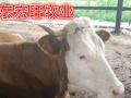 【肉牛养殖场育肥黄牛犊】包回收/加盟费用/项目详情