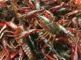 虾苗 种虾 青虾常年供应