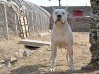 纯种杜高猎犬 血统纯正价格低 可上门选狗 可全国包邮