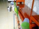 自养的大绯鹦鹉一对,会说话可上手