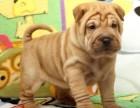 犬舍诚信直销 沙皮幼犬 健康纯种 支持上门可送货 无中介!