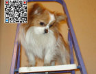 哪里出售蝴蝶犬 纯种蝴蝶犬多少钱