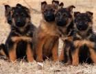 终身保障 多只可选 可签协议 纯种德国牧羊犬