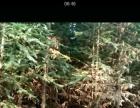 西楠桦-杉木已成材可以出售