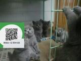 绵阳哪里有虎斑猫出售 绵阳虎斑猫价格 绵阳宠物猫转让出售