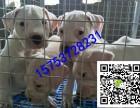 重庆杜高犬多少钱一只,杜高犬的价格图片
