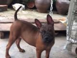 川东猎犬 中国最古老的猎犬 霸气威猛 打猎看家护院