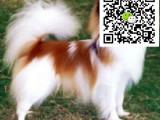 哪里有卖蝴蝶犬的 怎么才能买到纯种健康的蝴蝶犬