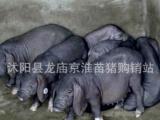 纯种二元、太湖母猪、长白种猪、苏太母猪、