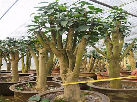 茶花树 油茶树嫁接茶花全国服务中心