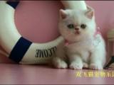 豹猫价格 店铺搜:双飞猫