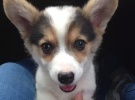 威尔士柯基犬出售纯种柯基幼犬三色两色均有挑选余地大来场见种犬