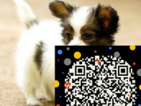 顶级 蝴蝶犬 犬舍直销 让顾客买的优惠放心和纯种