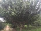 开封20公分白蜡树种植基地在哪