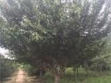 日照10公分樱花树现货优质品种