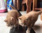 自家繁殖加菲猫开始接受预定