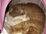 自家养的鸳鸯眼白猫小胖橘猫生的仔