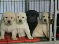 深圳最大繁殖基地丨专业繁殖出售拉布拉多幼犬丨保养活/签合同