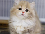 山东东营银渐层矮脚幼猫出售