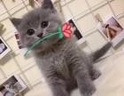 纯种英短蓝猫领养